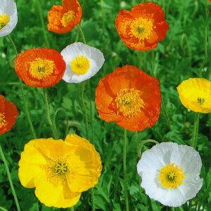 【種子】アイスランドポピー お徳用大パック 10ml入り【お取り寄せ品】日本タネセンター