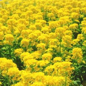 【種子】菜種 農林32号 1L日本タネセンター