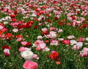 【種子】シャーレーポピー(ひなげし)混合 10ml日本タネセンターのタネ【お取り寄せ品】