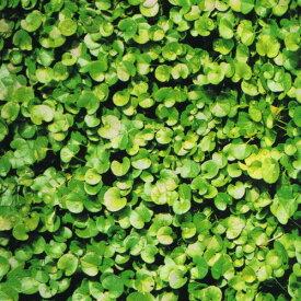 【種子】ダイカンドラ1dL入りお徳用大容量パック!福花園のタネ