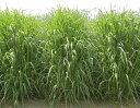 【種子】えん麦 アウェナ ストリゴサ ニューオーツ 10kgカネコ種苗【お取り寄せ品】