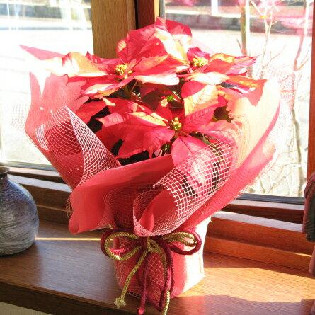 ポインセチアの鉢花ギフト(花色:アイスパンチ)【楽ギフ_メッセ入力】【楽ギフ_包装】【smtb-s】