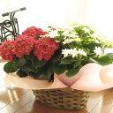 母の日に贈るアジサイ2鉢の寄せ鉢ギフト(赤系×白系)