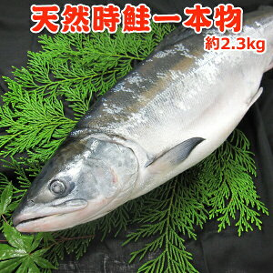 甘塩天然時鮭一本物 約2.3kg 送料無料・化粧箱入 切り身対応なし 送料無料 お取り寄せグルメ
