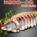 天然時鮭一本物 姿切り 約2.3kg 送料無料 化粧箱入