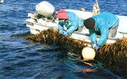 冷たい岩手(三陸)の海で育った美味しいワカメ