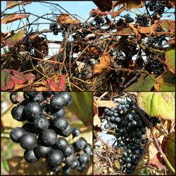 いわて山葡萄農園