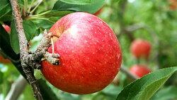 岩手県産ジョナゴールド、美味しいリンゴ産地直送で販売