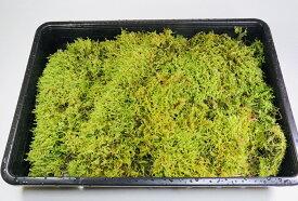 送料無料 お得なハイゴケ大トレー3枚セット 苔玉 苔テラリウム 苔庭 新鮮 大容量
