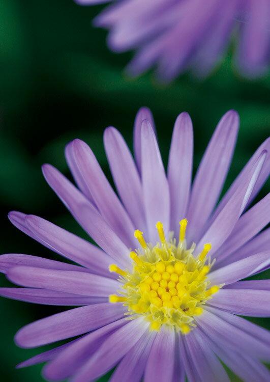 EPO-79-038 フラワー miruhana 追憶-紫苑 - 108ピース ジグソーパズル 【あす楽】