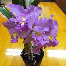 カトレア 中大輪 数量限定50鉢 ※誕生日・母の日・敬老の日などのお祝い花に