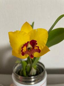【株のみ販売】蘭 ミニカトレア プチドールKEI ※誕生日・母の日・敬老の日などのお祝い花に