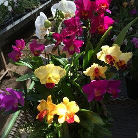 【株のみ販売】蘭 ミニカトレア  8種盛り ※誕生日・母の日・敬老の日などのお祝い花に