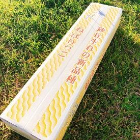 お中元 鳥取県産 ねばりっこ 進物用 3kg クール便配送 産地直送 お取り寄せ 長芋 とろろ芋 送料無料