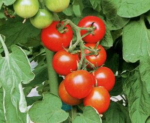 レッドボーイ 100粒 トマト とまと 蕃茄【カネコ種苗 種 たね タネ 】【通常5倍 5のつく日はポイント10倍 一万円以上の購入で5%OFFクーポン】