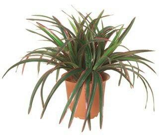 ドラセナブッシュ×3(グリーン/レッド)【観葉植物 造花 SC(CT)触媒・光触媒媒 フェイクグリーン】[G-L]鉢セット可能商品