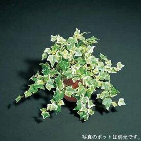 ミニオランダアイビーブッシュ(231) 35cm【観葉植物 造花 CT触媒/光触媒 フェイクグリーン】[D-F]鉢セット可能商品