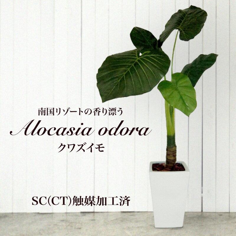 【観葉植物 造花】くわずいも(S)160cm 鉢植 クワズイモ(光触媒より優れたCT触媒/SC触媒/インテリア/お祝い)【フェイクグリーン 人工観葉植物】