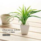 ドラセナ鉢植22cm