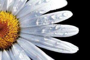 自然 花 フラワー フローラルの壁紙 輸入 カスタム壁紙 PHOTOWALL / Daisy Close up (e1842) 貼ってはがせるフリース壁紙(不織布) 【海外取り寄せのため1カ月程度でお届け】 【代引き・後払い不可】