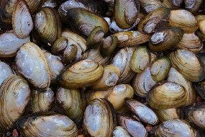 自然 海 貝の壁紙 輸入 カスタム壁紙 PHOTOWALL / Mussel Shell (e19423) 貼ってはがせるフリース壁紙(不織布) 【海外取り寄せのため1カ月程度でお届け】 【代引き・後払い不可】