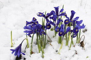 自然 花 フラワー フローラルの壁紙 輸入 カスタム壁紙 PHOTOWALL / Iris (e19417) 貼ってはがせるフリース壁紙(不織布) 【海外取り寄せのため1カ月程度でお届け】 【代引き・後払い不可】