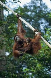 動物 アニマル 自然の壁紙輸入 カスタム壁紙 PHOTOWALL / Climbing Orangutan (e23789)貼ってはがせるフリース壁紙(不織布)【海外取り寄せのため1カ月程度でお届け】【代引き不可】
