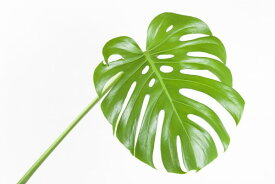 グリーン 緑 葉 ボタニカル 植物 モンステラ トロピカル 南国の壁紙 輸入 カスタム壁紙 PHOTOWALL / Tropical Leaf (e311352) 貼ってはがせるフリース壁紙(不織布) 【海外取り寄せのため1カ月程度でお届け】 【代引き不可】 壁紙屋本舗