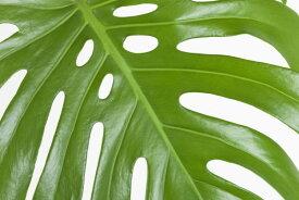 グリーン 緑 葉 葉っぱ ボタニカル植物 モンステラ トロピカル 南国の壁紙 輸入 カスタム壁紙 PHOTOWALL / Tropical Leaf II (e311353) 貼ってはがせるフリース壁紙(不織布) 【海外取り寄せのため1カ月程度でお届け】 【代引き不可】 壁紙屋本舗