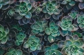 多肉植物 植物 ボタニカル 緑 グリーンの壁紙 輸入 カスタム壁紙 PHOTOWALL / Succulent Joy (e313360) 貼ってはがせるフリース壁紙(不織布) 【海外取り寄せのため1カ月程度でお届け】 【代引き不可】 壁紙屋本舗