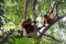 オランウータン 猿 ジャングル 森の壁紙輸入 カスタム壁紙 PHOTOWALL / Female and Infant Orangutan (e314300)貼ってはがせるフリース壁紙(不織布)【海外取り寄せのため1カ月程度でお届け】【代引き不可】