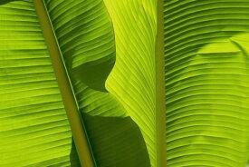 葉 植物 ボタニカル トロピカル バナナリーフ 緑 グリーンの壁紙 輸入 カスタム壁紙 PHOTOWALL / Banana Leaves (e321599) 貼ってはがせるフリース壁紙(不織布) 【海外取り寄せのため1カ月程度でお届け】 【代引き不可】