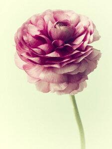 花 ピンクの壁紙 輸入 カスタム壁紙 PHOTOWALL / Lush Botanical II (e324799) 貼ってはがせるフリース壁紙(不織布) 【海外取り寄せのため1カ月程度でお届け】 【代引き・後払い不可】