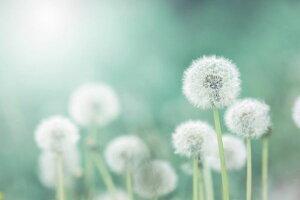 タンポポ 綿毛 花 緑 グリーン 青 ブルーの壁紙 輸入 カスタム壁紙 PHOTOWALL / Dandelion Flower (e327845) 貼ってはがせるフリース壁紙(不織布) 【海外取り寄せのため1カ月程度でお届け】 【代引き・