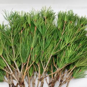 【送料無料】高野槇の切り枝60cm10本組×3