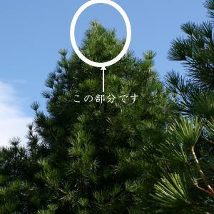 高野槙芯切枝120cm1本生花切花
