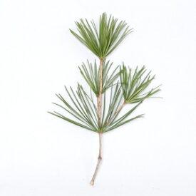 【定期購入可能】 高野槇 切枝 40cm 1本 生花 切花