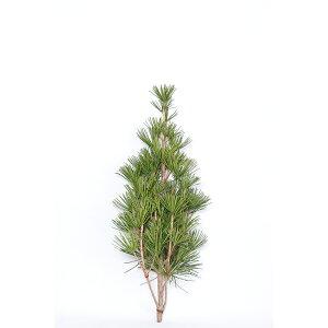 高野槇の芯100cm