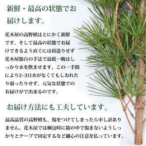 高野槙切枝40cm20本組1束生花切花