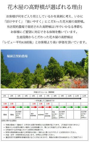 高野槙の切枝60cmmM品×2生花切花やや細