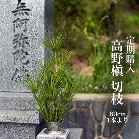 【定期購入可能】 高野槙 切枝 60cm 1本 生花 切花