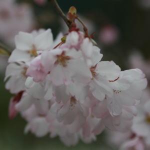 【花材】彼岸桜