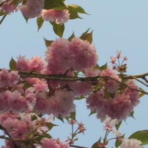 【発送は4月中旬より】【送料当店負担】 関山 高さ1m〜0.6m 小枝 1束 10本程度 切花 お花見 花見 家 屋内 飾り