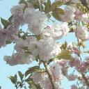 【2020年3月20日以降発送分】【送料当店負担】 牡丹桜 高さ1m〜0.6m 小枝 1束 10本程度 切花 お花見 花見 家 屋内 飾り