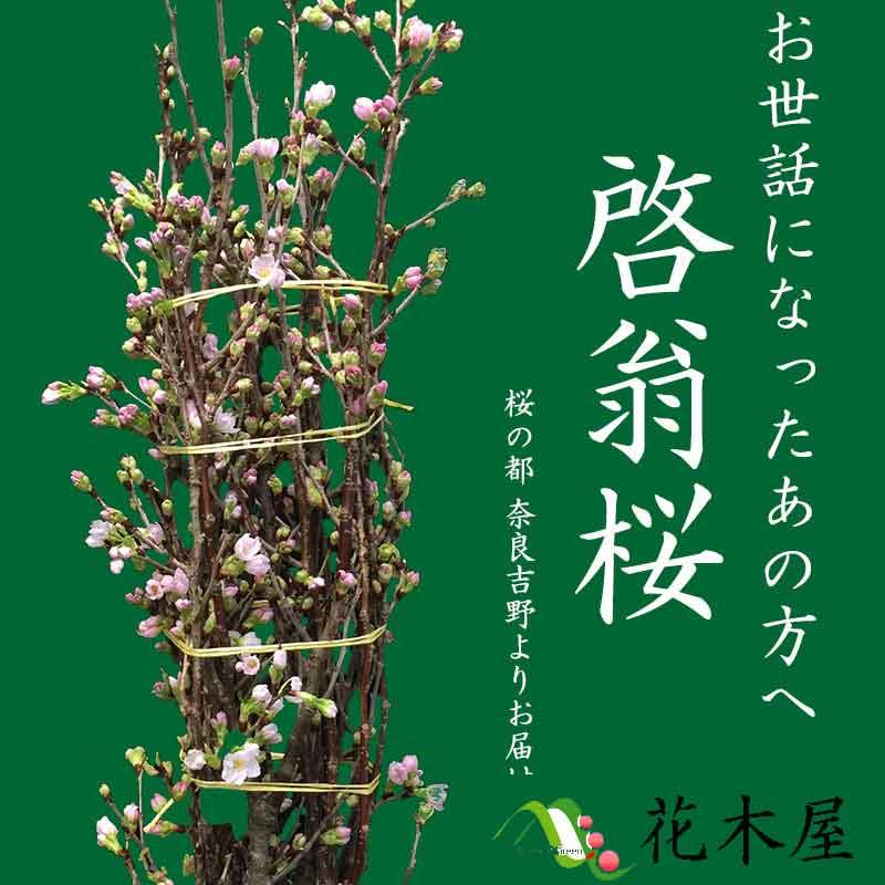 【2018年12月20日以降発送分】 啓翁桜 高さ 約1.15m 1本 生花