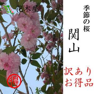 【季節の桜】【発送は4月中旬より】【訳あり】関山高さ1m〜0.6m小枝1束10本程度切花