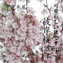 【まもなく販売終了】彼岸桜 ひがんさくら 生花 切花 活花 華道 店舗 イベント 装飾 プレゼント 花材 お供え 1本からご利用可能です