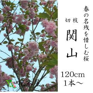 今シーズンラストの販売です!!【桜】【切花・生花】【花材】【ピンク】八重桜関山(かんざん)高さ約1.15m1本からご利用可能です