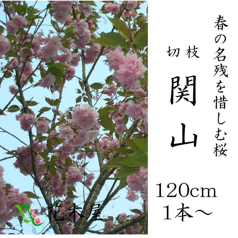 【4月中旬からの発送です】八重桜 関山 約1.15m 1本より御利用可