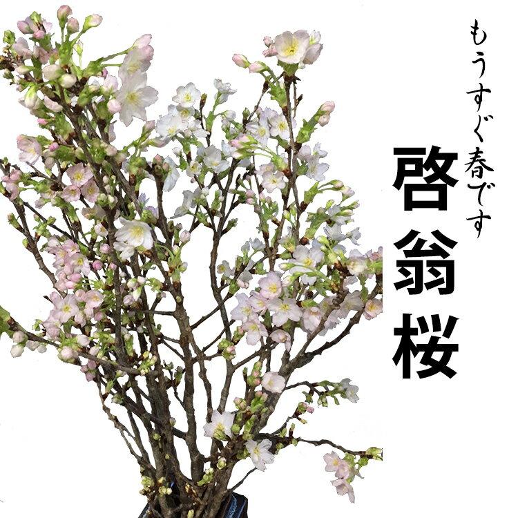 【季節の桜 2018年12月20日以降発送分】 啓翁桜 高さ1m〜0.6m 小枝 1束 10本程度 切花